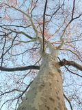 Platanus Occidentals Tree during Sunset in Winter. Royalty Free Stock Image