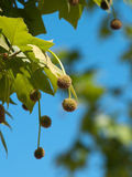Platanus orientalis. Stock Photography