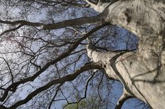Platanus Orientalis - old Plane tree branches against blue sky Royalty Free Stock Photo
