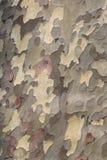 Platanus texture Stock Image