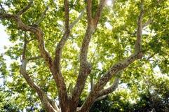 Platanus tree Royalty Free Stock Photos