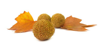Platanus tree leaf and flower balls Stock Image