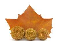 Platanus tree leaf and flower balls Stock Image