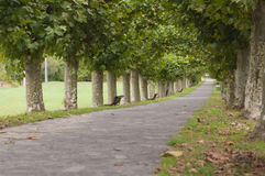 Platanus tree lined road or avenue. Nobody walking Stock Image