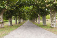 Platanus tree lined road or avenue. Nobody walking Stock Photos