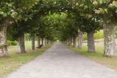 Platanus tree lined road or avenue. Nobody walking Stock Photos
