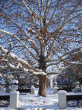 Platanus tree in sunny winter day. Platanus tree surrounded by benches in a park Royalty Free Stock Image