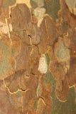 Platanus tree texture stock photography