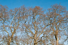 Platanus trees Stock Photography