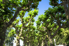 Platanus trees Royalty Free Stock Photos