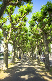Platanus trees Royalty Free Stock Image