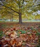 Platanusboom Royalty-vrije Stock Afbeeldingen