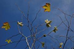 Platanushöstsidor på blå himmel Arkivfoto