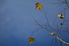 Platanushöstsidor på blå himmel Arkivbild