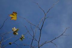 Platanushöstsidor på blå himmel Royaltyfri Foto