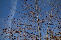 Platanusträd med förtorkade sidor på blå himmel i höst Arkivbild
