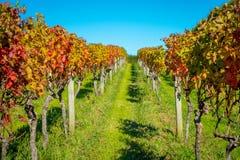 Platation bonito do vinhedo com as folhas coloridas vermelhas, amarelas e verdes, localizado na ilha de Waiheke com um azul bonit imagens de stock