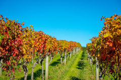 Platation bonito do vinhedo com as folhas coloridas vermelhas, amarelas e verdes, localizado na ilha de Waiheke com um azul bonit foto de stock