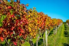Platation bonito do vinhedo com as folhas coloridas vermelhas, amarelas e verdes, localizado na ilha de Waiheke com um azul bonit foto de stock royalty free