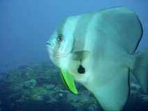 Platax/Batfish Stockfoto