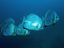 Platax del Mar Rosso Fotografia Stock