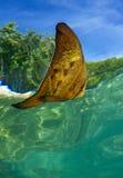Platax fish in réflexion. Platax fish through the surface Stock Photo