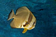 Platax o batfish Fotografía de archivo