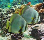 Platax orbicularis Stock Images