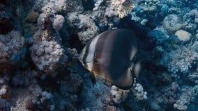 Platax orbicularis Fotografia Stock Libera da Diritti