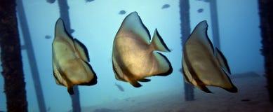 platax orbicularis batfishes подводное Стоковая Фотография
