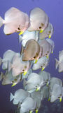Platax orbicularis eller Orbicular Batfish Royaltyfri Bild