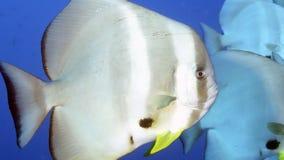 Platax orbicularis eller Orbicular Batfish Arkivbilder