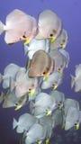 Platax orbicularis or Orbicular Batfish Royalty Free Stock Image