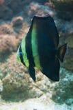Platax orbicularis - Orbicular Spadefish. Aquarium fish Platax orbicularis - Orbicular Spadefish Stock Photo