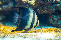 Platax orbicularis - Orbicular Spadefish Stock Image