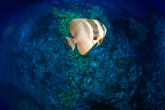 Platax Teira above coral reef, Maldives. Maldivian bat-fish swims sideways over reef with blue striped snappers schools in Kuda Rah Thila - South Ari Atoll Stock Photography