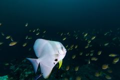 Platax teira del pesce pipistrello di Teira nel blu Fotografie Stock Libere da Diritti