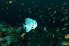 Platax teira del pesce pipistrello di Teira nel blu Fotografia Stock
