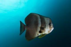 Platax teira del pesce pipistrello di Teira nel blu Fotografia Stock Libera da Diritti