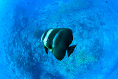 Platax Teira, Maldives - ambient light. Maldivian bat-fish swims sideways over reef with blue striped snappers schools in Kuda Rah Thila - South Ari Atoll Royalty Free Stock Photos