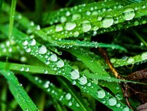 Plate of autumn grass covered with droplets of dew Royalty Free Stock Images