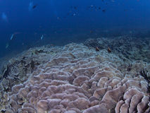 Plate coral reef with divers Royalty Free Stock Image