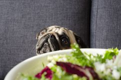 Plate with fresh green salad, dog breed pug sitting on the sofa royalty free stock images