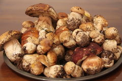 Plate with fresh Porcini mushrooms collected in the forest. Plate with dozens of fresh Porcini mushrooms just collected in the forest Royalty Free Stock Photo
