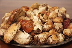 Plate of fresh Porcini mushrooms just collected in the forest. Plate with dozens of fresh Porcini mushrooms just collected in the forest Royalty Free Stock Photos