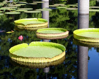 Plate shaped leafs of a giant water-lily Royalty Free Stock Photography