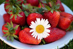 Plate with strawberries and a daisy flower Stock Images