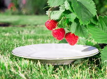 A plate under a Fresh ripe red strawberry. Bush grow in the garden. top quality, organic food concept Royalty Free Stock Image