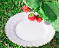 A plate under a Fresh ripe red strawberry. Bush grow in the garden. top quality, organic food concept Stock Images