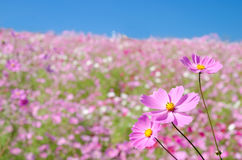 Plateau covered with pink cosmos Stock Images